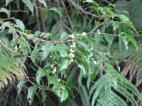 Phyllanthus samoanus, Tutuila, National Park of American Samoa, 2009