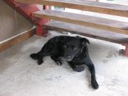 Chicken, the immortal Gump Station dog, 2009