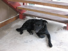Chicken, the immortal Gump Station dog, 2009
