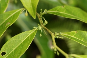 Phyllanthus marchionicus (syn. Glochidion marchionicum), Nuku Hiva, Marquesas Islands, 2007