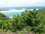 Phyllanthus florencei (syn. Glochidion societatis), Maupiti, Society Islands, 2007