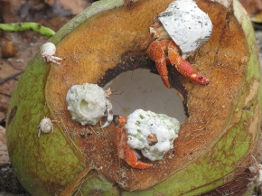 Hermit crabs at an opened coconut, Maupiti, Society Islands, 2007