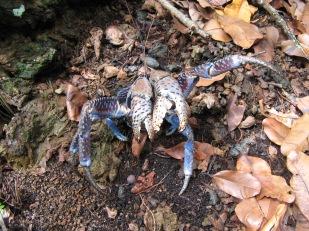 Coconut crab (Birgus latro), Me'eti'a, Society Islands, 2008