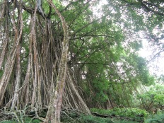 Ficus prolixa forest, Me'eti'a, Society Islands, 2008
