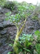Pilea bisepala (Uritcaceae), Raivavae, Austral Islands, 2008