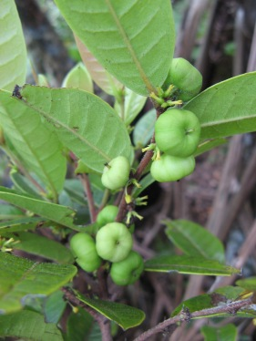 Phyllanthus longfieldiae (syn. Glochidion longfieldiae), Rapa, Austral Islands, 2008