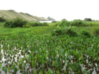 Taro fields, Rapa, Austral Islands, 2008