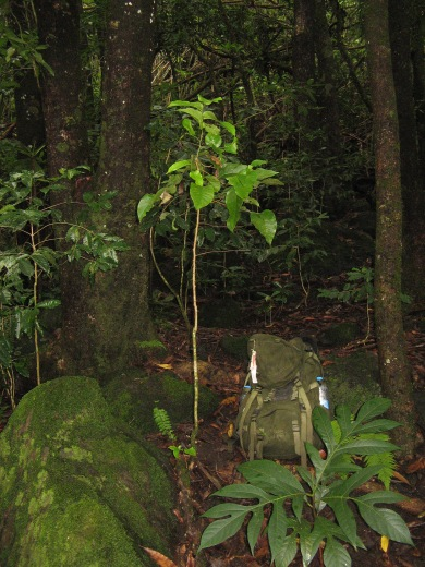Critically endangered Phyllanthus wilderi (syn. Glochidion wilderi) sapling, Mangareva, Gambier Islands, 2008