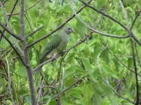 Atoll fruit-dove, Niau, Tuamotu Islands, 2008