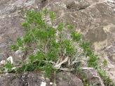Phyllanthus emarginatus (syn. Glochidion emarginatum), Ra'iatea, Society Islands, 2008