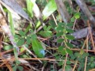 Fivepetal leafflower (Phyllanthus pentaphyllus), Miami, Florida