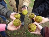 Network ecologists ponder putatively megafauna-dispersed osage orange (Moraceae: Maclura pomifera)