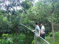 Shixiao and Mr. Zhu collecting from a Glochidion zeylanicum, Xinglong, Hainan, China