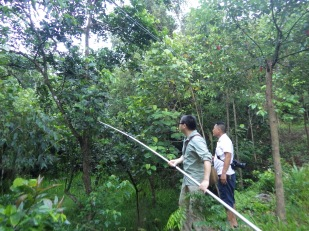Shixiao and Mr. Zhu collecting from a Glochidion zeylanicum, Xinglong, Hainan, China