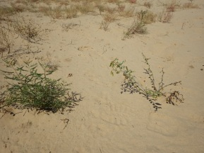 Drummond's leafflower (Phyllanthus abnormis, left), and its close relative, sand reverchonia (P. warnockii, right), Mescalero Sands, New Mexico