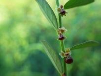 Birdseed leafflower (Phyllanthus evanescens), Texas