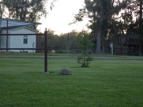 Armadillo at the bunkhouse, Trinity River NWR, Texas