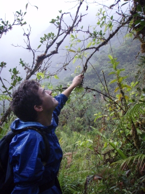 Collecting Phyllanthus papenooense (syn. Glochidion papenooense), Tahiti, Society Islands, 2008. Photo: Erica Spotswood