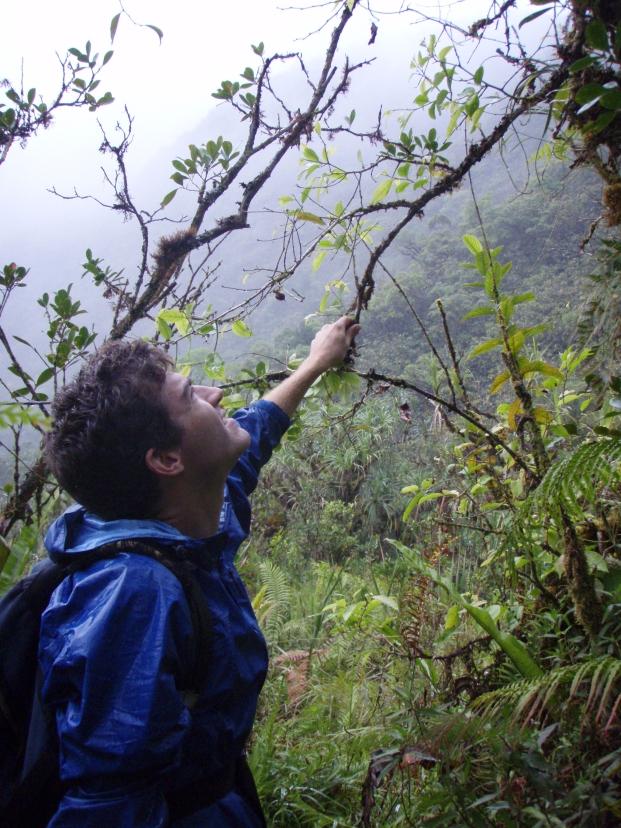Collecting Phyllanthus papenooense (syn. Glochidion papenooense), Tahiti, Society Islands, 2008. Photo: Erica Spotswood